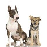 拙劣的杂种犬 免版税图库摄影