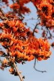拙劣的柚木树树 免版税库存照片