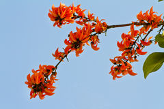 拙劣的柚木树花,森林的火焰 库存照片
