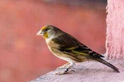 拙劣-金翅雀和金丝雀杂种  图库摄影