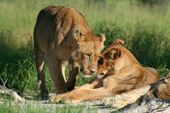 招呼博茨瓦纳的女性狮子okavango 免版税库存照片