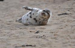 招待人群的斑海豹在海滩 库存照片