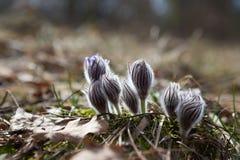 招标第一朵春天3月花淡紫色蓝色pasque花, 免版税库存图片