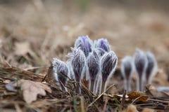 招标第一朵春天3月花淡紫色蓝色pasque花, 库存照片