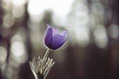 招标第一朵春天3月花淡紫色蓝色pasque花, 免版税图库摄影