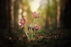 招标第一朵春天3月花淡紫色蓝色pasque花, 免版税库存照片