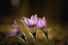 招标第一朵春天3月花淡紫色蓝色pasque花, 库存图片