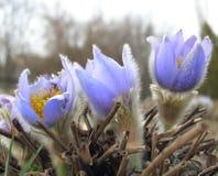 招标第一朵春天3月花淡紫色蓝色pasque花 免版税库存图片