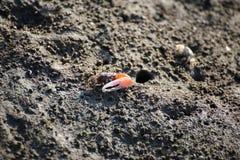 招潮蟹在美洲红树森林里 库存照片