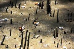 招潮蟹生活在美洲红树森林里 免版税库存图片