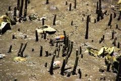招潮蟹生活在美洲红树森林里 库存图片