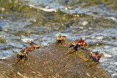 招潮蟹,非洲,马达加斯加 免版税库存图片