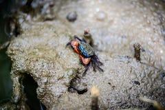 招潮蟹,鬼魂螃蟹Ocypodidae走在美洲红树 免版税库存照片