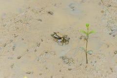 招潮蟹,鬼魂螃蟹Ocypodidae走在美洲红树 库存图片