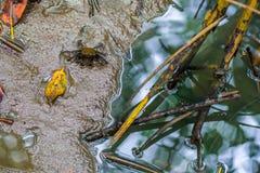 招潮蟹,鬼魂螃蟹Ocypodidae走在美洲红树 免版税图库摄影