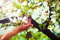 崇拜春天木兰在一棵树开花,在太阳光 花在妇女手上 库存图片