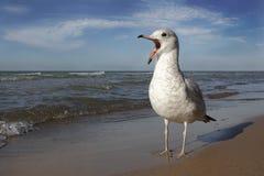 拜访休伦湖畔海滩的圆环开帐单的鸥 免版税库存照片