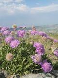 拜雷阿尔斯针垫花(Lomelosia cretica) 免版税库存图片