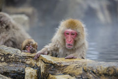 拟人说:雪猴子动乱 免版税库存照片