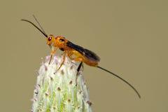 拟寄生物的黄蜂 免版税库存照片