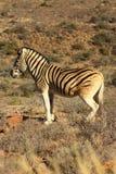 拟斑马 免版税库存图片
