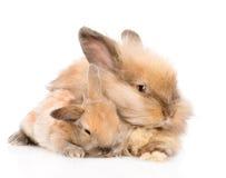 拥抱一个新出生的兔宝宝的成人兔子 查出在白色 免版税库存图片