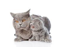 拥抱一只新出生的小猫的成人母亲猫 查出在白色 免版税库存图片