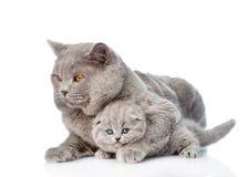 拥抱一只新出生的小猫的成人母亲猫 查出在白色 免版税库存照片