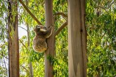 拥抱一棵树的考拉在一个森林里在维多利亚,澳大利亚 免版税库存图片