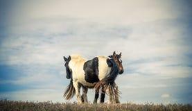 拥抱两匹的马 免版税库存照片