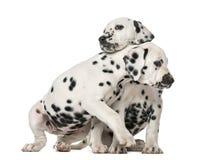 拥抱两只达尔马希亚的小狗 免版税库存照片