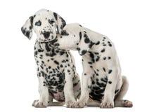 拥抱两只达尔马希亚的小狗 库存图片