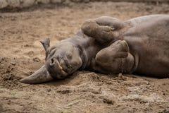 拥抱在动物园的逗人喜爱的小犀牛在柏林 库存图片