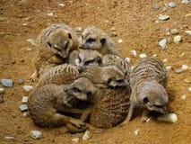 拥抱在动物园里的Meerkats在巴伐利亚 免版税库存图片