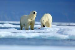 拥抱在流冰的北极熊夫妇在北极斯瓦尔巴特群岛 负担与雪和白色冰在海 与危险的冷的冬天场面 库存照片