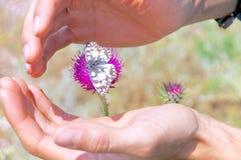 拥抱在花的Melanargia Galathea,阿布鲁佐,意大利 免版税库存照片