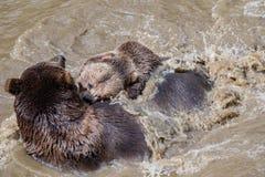 拥抱在水中的棕熊夫妇 两头棕熊戏剧在水中 免版税库存照片