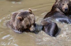 拥抱在水中的棕熊夫妇 两头棕熊戏剧在水中 免版税库存图片