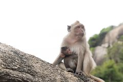 拥抱她的母亲猴子的小猴子 免版税库存照片