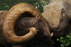 拥抱她的婴孩的母亲大象 免版税图库摄影