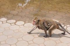 拥抱小猴子的母亲猴子 泰国 免版税库存图片