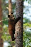 拥抱树的棕熊崽 在树的棕熊崽 库存图片