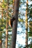 拥抱树的棕熊崽 库存照片