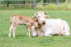 拥抱母亲母牛的小公牛犊在绿色草甸 免版税库存照片
