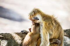 拥抱的两只猴子 免版税库存图片