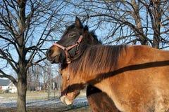 拥抱的对在小牧场的马 免版税库存图片
