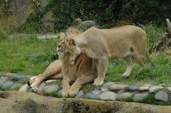拥抱的狮子 免版税库存图片