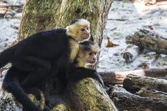 拥抱的猴子 免版税库存照片