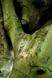 拥抱结构树的山毛榉 库存照片