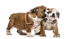 拥抱英国牛头犬的小狗, 库存照片